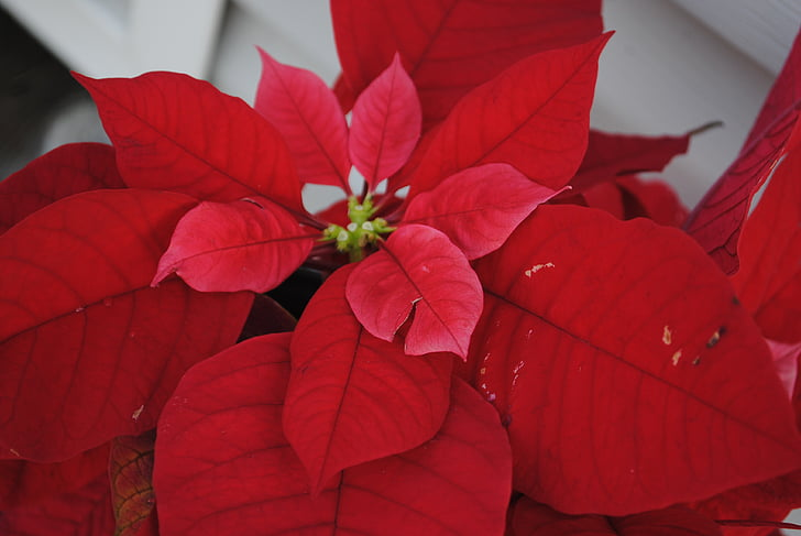 poinsettia, red, christmas, decoration, flower, holiday, plant