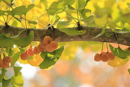 gingko tree, ginkgo biloba, fukushima, tree, fruit