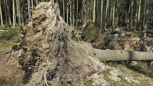 bosc, medi ambient, natura, tempesta dany, arbre, vell, registre