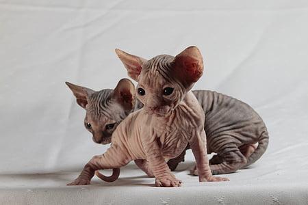 cats, sphinx, kittens, pets, domestic Cat, animal, cute