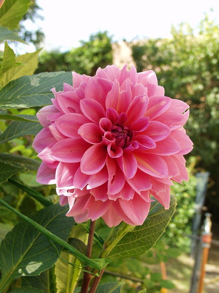 Dalia, kwiat, Bloom, jasny czerwony kwiat, Róża