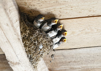 swallows, bird's nest, animal, bird, nest, breed, insect