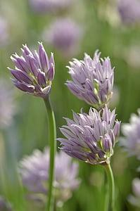 cebollino, flores, violeta, luz violeta, jardín de hierbas, hierbas, flores de cebollino