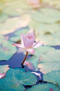 macro, shot, photography, pink, petal, flower, lotis