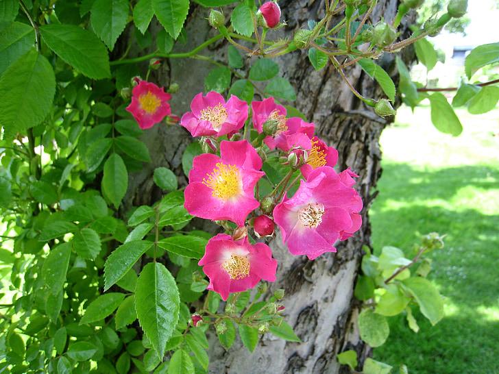 rožės, paprastas, rožinė, medis, lapų, žalia, parkas