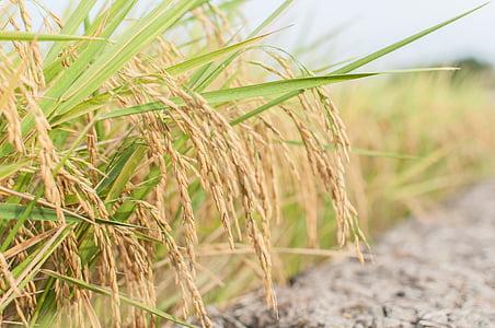 arròs, l'agricultura, pagès, Tailàndia, terres de conreu, l'agricultura, operador