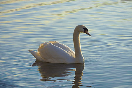 swan, lake, waterfowl, water, animal world, waters, feather