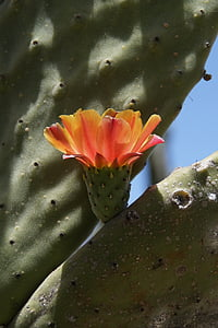cactus, cactus blossom, orange, blossom, bloom, close, prickly