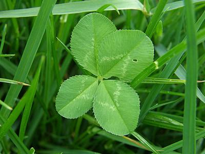 Four leaf apila, onnea, vihreä, Luonto, Leaf apila onnea
