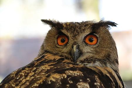 유럽 독수리 올빼미, 임, 올빼미, 유라시아, 새, 프레데터, 야생 동물
