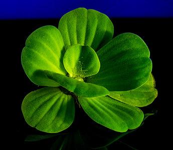 floating plant, foliage plant, plant