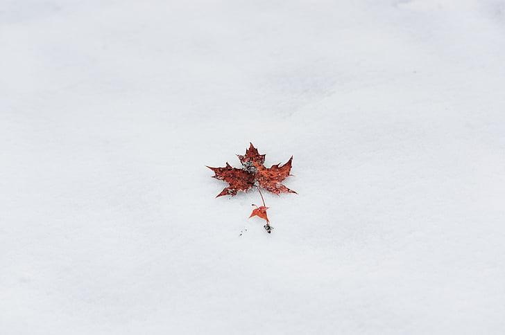 žiemą, Klevas, Minimalistinės distribucijos, paprastas, PPT fonai, mobiliojo ryšio, sniego