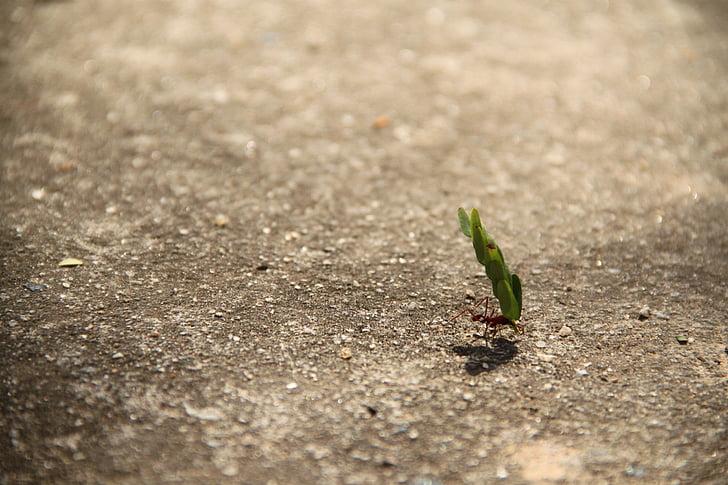 arbeid, maur, vekt, blad, styrke, innsats