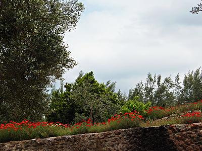 camp de roselles, paisatge, camp, bellesa, natura, flors silvestres, camp salvatge