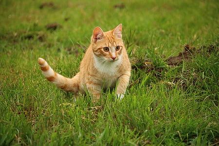 cat, kitten, mieze, mackerel, domestic cat, red cat, red mackerel tabby
