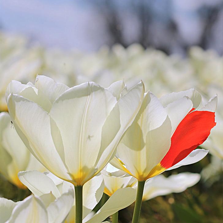 Tulipan, Tulipa, kwiat, biały, czerwony liść, Freak of nature
