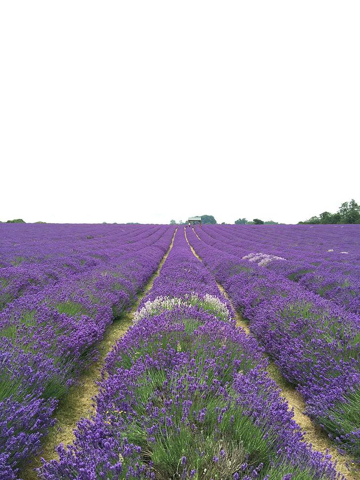 bidang, Lavender, bunga, alam, alam, ungu, indah