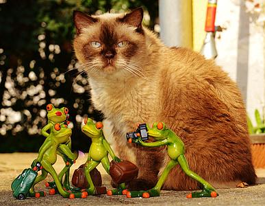 cat, frogs, british shorthair, blue eye, funny, travel, luggage