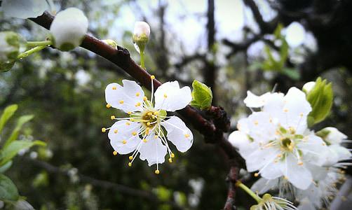 the peach blossom, peach blossom, flower