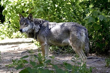 вълк, гора, Хищникът, Canis lupus, hundeartig, Хънтър, месоядни