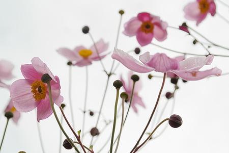 flor, flor, Rosa, flor, anemone de tardor, Anemone hupehensis, hahnenfußgewächs
