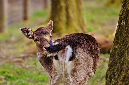 hoang dã, Roe deer, wildpark poing, Thiên nhiên, Red deer, động vật có vú, động vật hoang dã