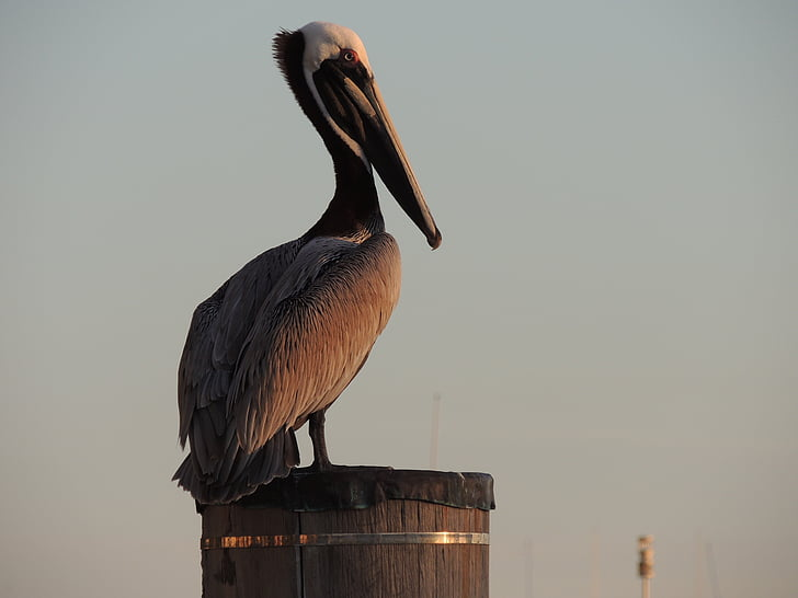 Pelican, lintu, eläinten, Luonto, Ornithology, iso lintu, lintu-katselun