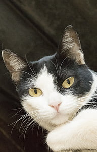 cat, feline look, black and white