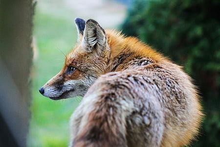 Fuchs, Tiere Natur, Tier, französischer toast, állatportré, Fauna, Säugetier
