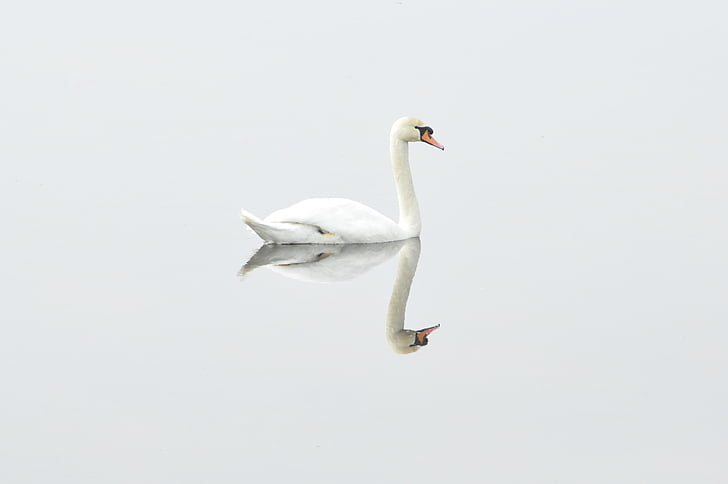 swan, bird, nature, water bird, mirror image, studio shot, one animal