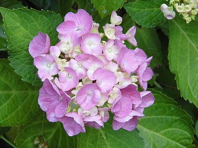 Hortènsia, flors, porpra, pètals de Rosa, Hortènsia, natura, fulla