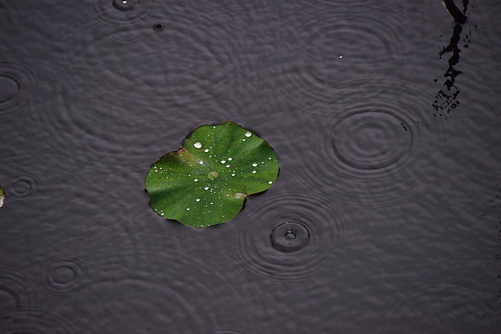 regn, vanddråber, Lotus blad, vandet