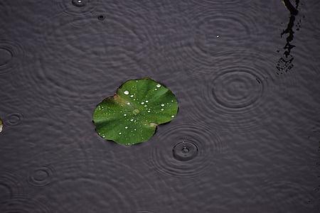 pluja, gotetes d'aigua, el Lotus leaf, l'aigua