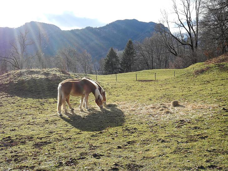 cavall, Prat, Alm, les pastures, natura, animal, pasturar