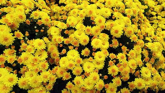 lilled, kollane lill, taimed, loodus, Tabitha, kevadel, kollased krüsanteemid