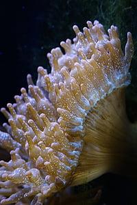 anemones, anemones de mar, món submarí, Aquari, Mar, criatura, sota l'aigua