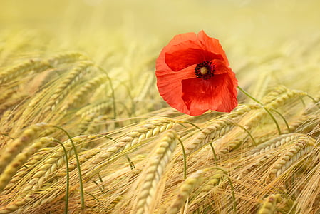 poppy, grain, cornfield, summer, mohngewaechs, cereals, spike