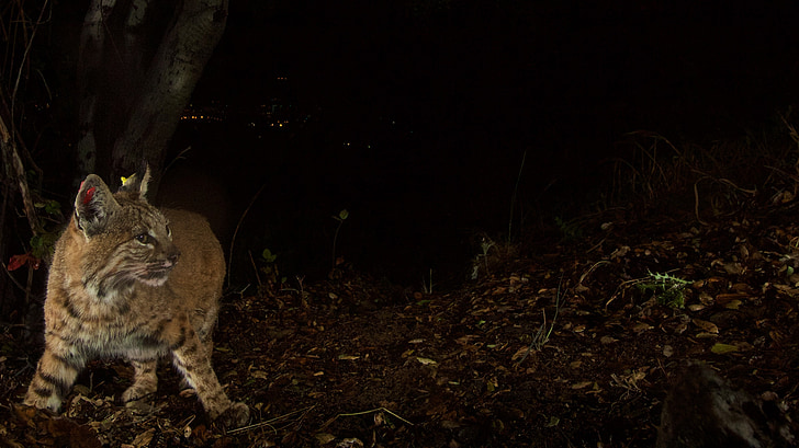 bobcat, feline, wildlife, nature, night, big cat, lynx