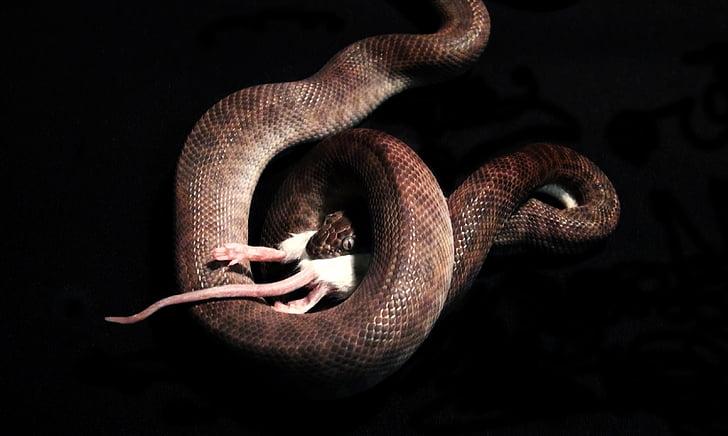 snake, snake eating, mouse, reptile, animal, eating, wildlife
