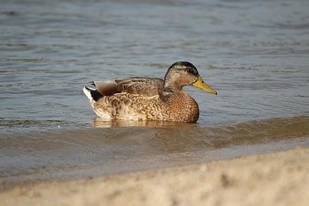 鴨, 湖, 水, 鳥, アヒル, 動物, 泳ぐ