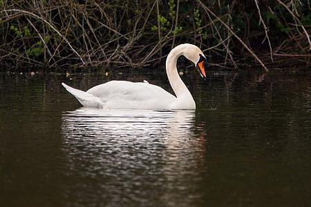 Лебедь, воды птицы, плавать, озеро, пруд, воды, воды