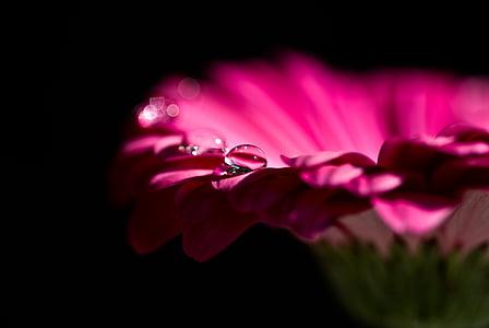 Gerbera, õis, Bloom, punane, lill, loodus, tilk vett
