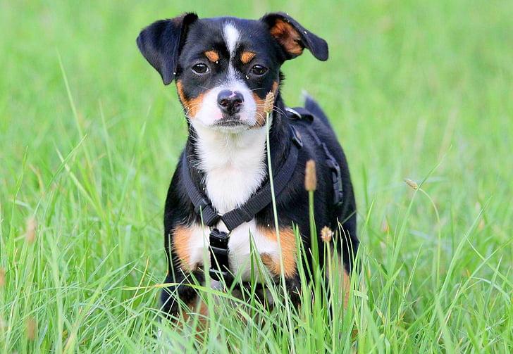 dog, meadow, dog on meadow, sweet, attentive dog, dog portrait, animal