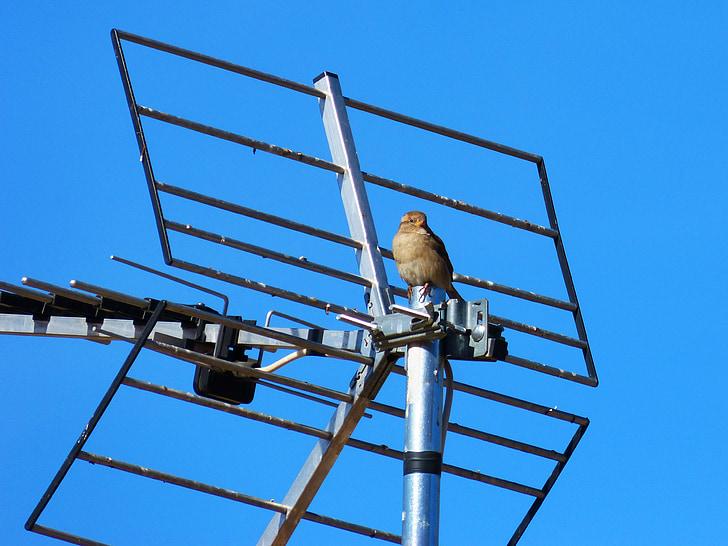 sparrow, sky, antenna, dom, little bird
