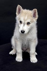 catelus, animale, drăguţ, drag, câine, animale, animale de companie