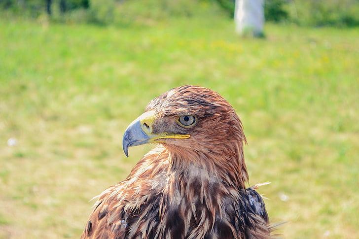 скален орел, Казахстан, borovoye, птица, Хищникът, граблива птица, дива природа