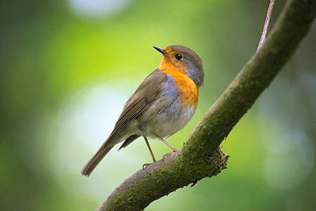 Robin, Bokeh, ptica, pero, perje, grana, jedna životinja