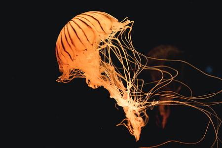 dyr, maneter, hav, sjøen, undervanns, brenning, flamme