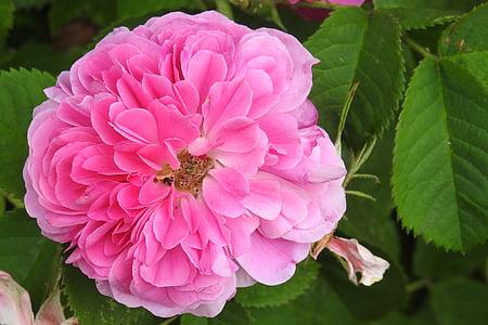 上升, 粉红色的玫瑰, 老玫瑰品种, 玫瑰花园, 玫瑰绽放, 开花, 绽放