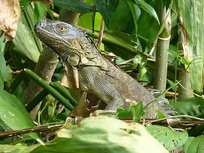animal, costa, rica, jungle, rain, forest, iguana